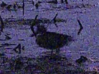 暗視カメラに写ったカモ