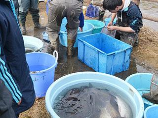 関市中池の水抜きで保護されたギンブナなど