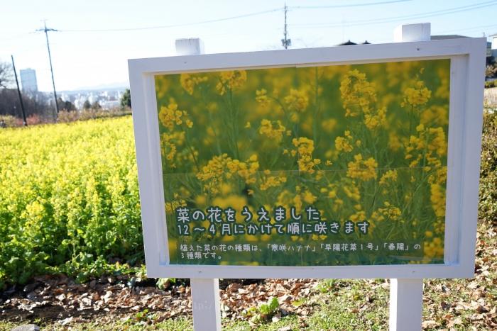 菜の花0846