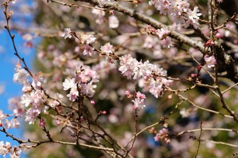 04十月桜