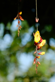 17蔓性の蘭