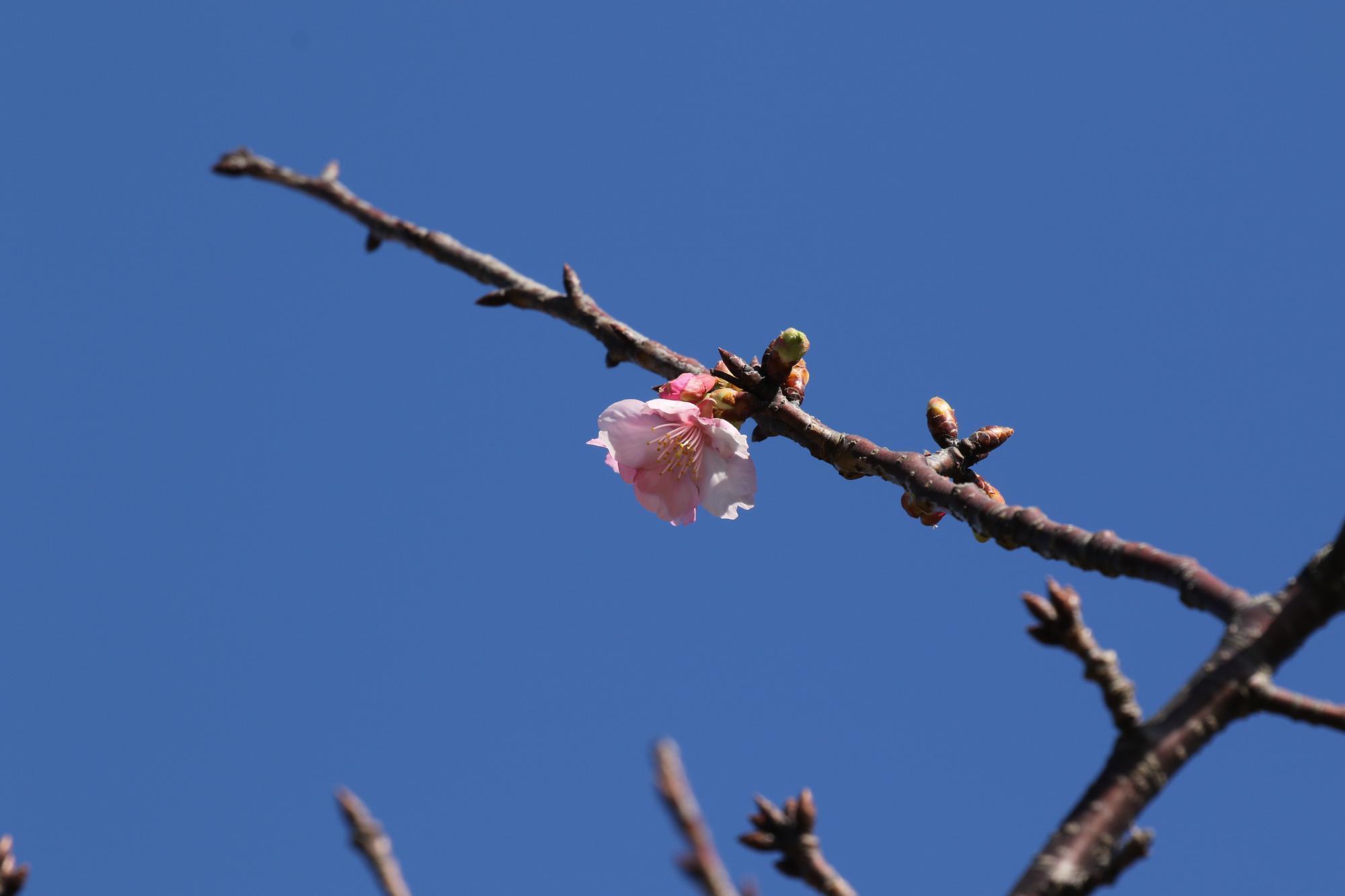 20171214_寒桜