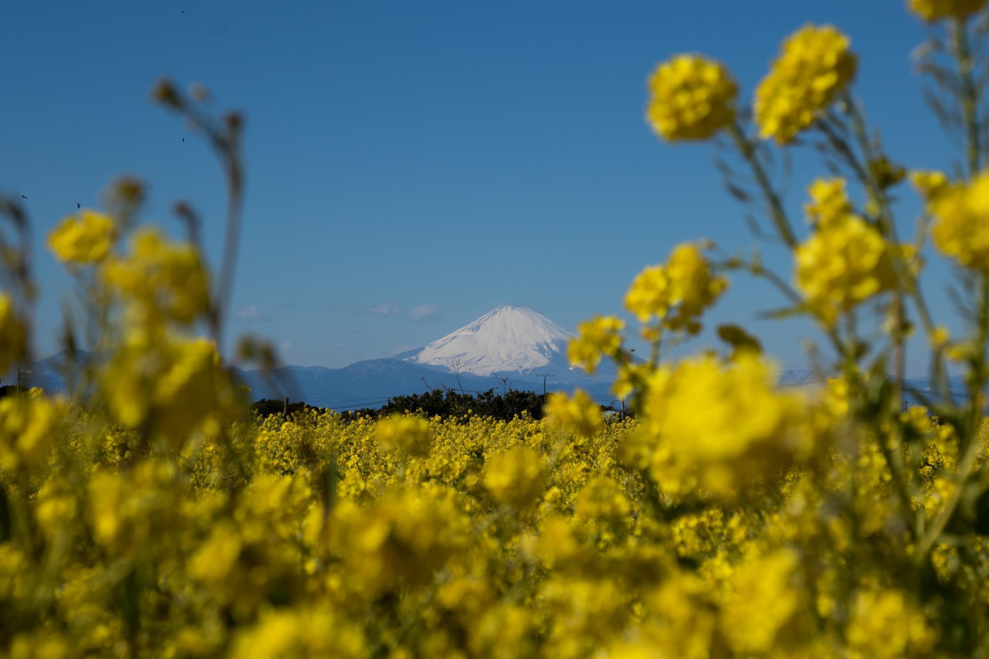 20180207_菜の花_富士山