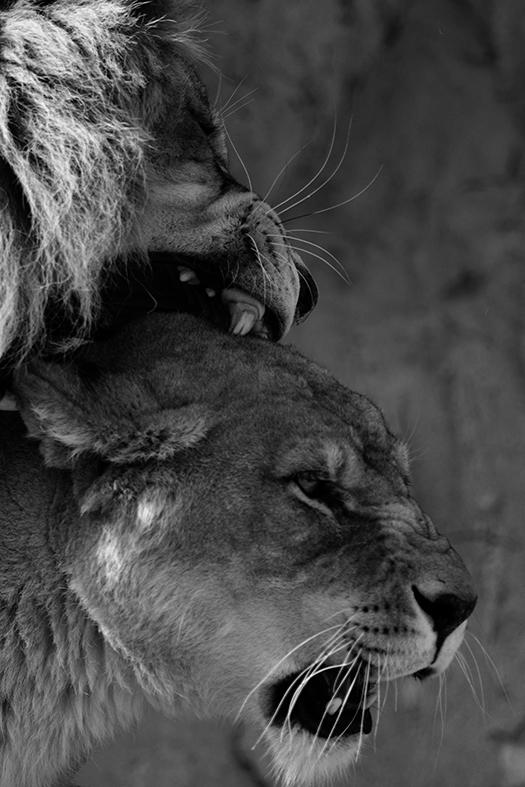 ライオン_02