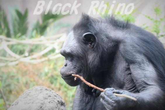 ニシチンパンジー イチゴ2 到津の森公園