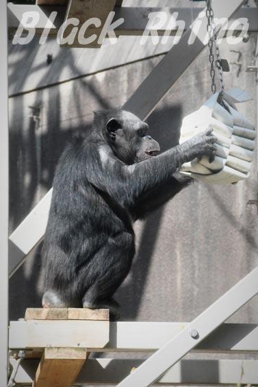 ニシチンパンジー イチゴ3 到津の森公園