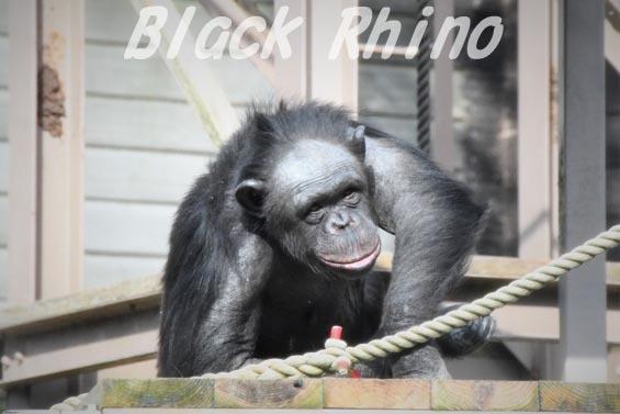 ニシチンパンジー イチゴ4 到津の森公園
