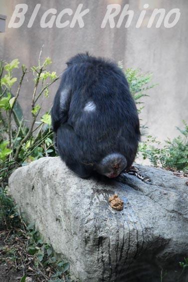 ニシチンパンジー イチゴ5 到津の森公園