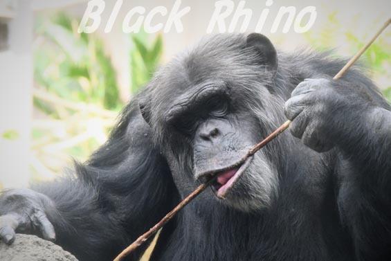 ニシチンパンジー マリオ2 到津の森公園