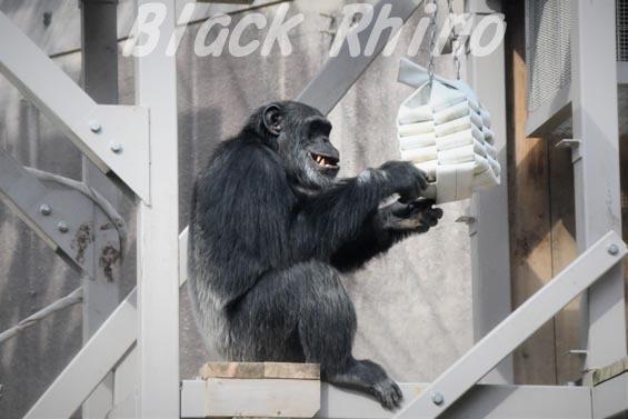 ニシチンパンジー マリオ4 到津の森公園