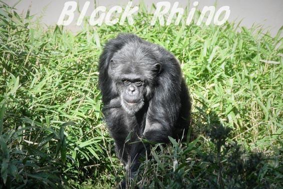 ニシチンパンジー マリオ5 到津の森公園