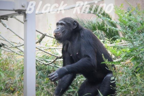 ニシチンパンジー みるく1 到津の森公園