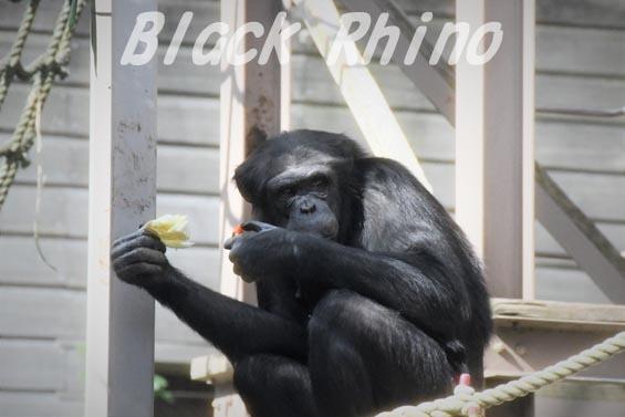 ニシチンパンジー みるく2 到津の森公園