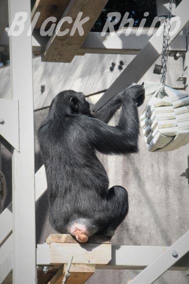 ニシチンパンジー みるく3 到津の森公園