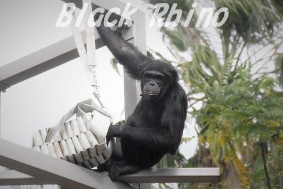 ニシチンパンジー みるく4 到津の森公園
