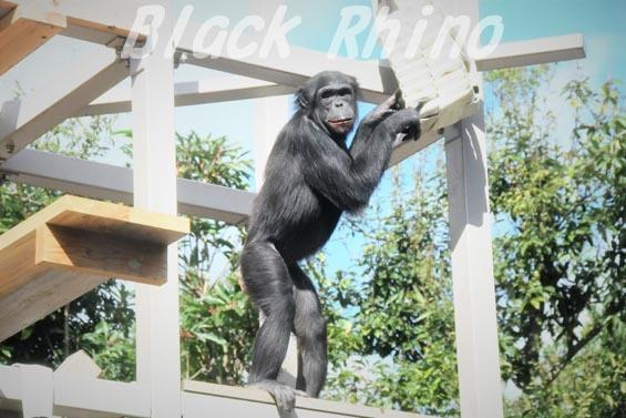 ニシチンパンジー みるく5 到津の森公園