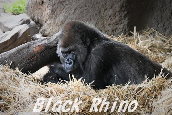ニシローランドゴリラ ナナ1 上野動物園