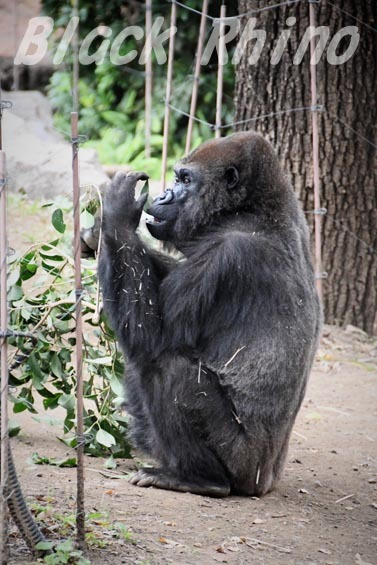 ニシローランドゴリラ ナナ6 上野動物園