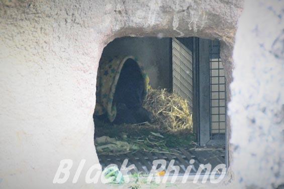ニシローランドゴリラ ピーコ 上野動物園