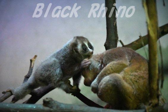 ベンガルスローロリス? ボルネオスローロリス? 上野動物園