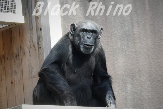 ニシチンパンジー キララ01 到津の森公園