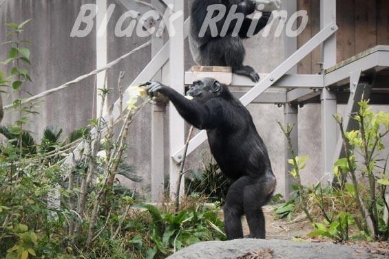 ニシチンパンジー キララ02 到津の森公園