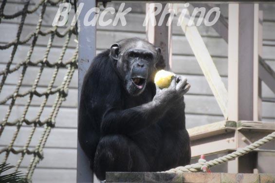 ニシチンパンジー キララ03 到津の森公園