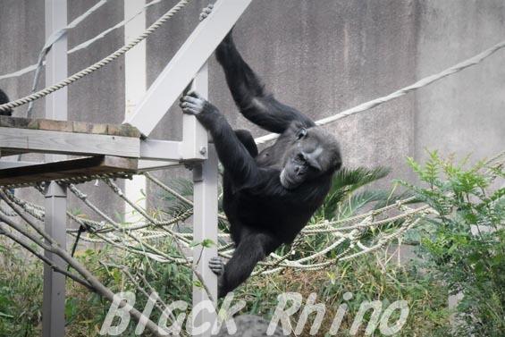ニシチンパンジー キララ04 到津の森公園