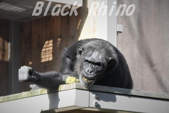 ニシチンパンジー キララ05 到津の森公園