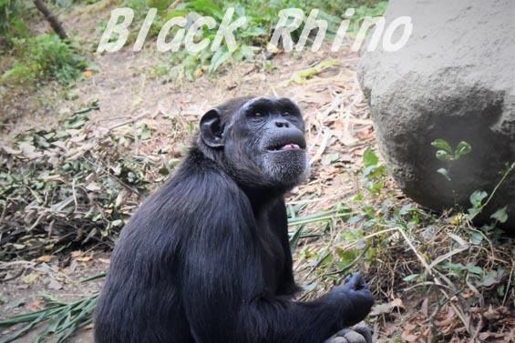 ニシチンパンジー キララ06 到津の森公園