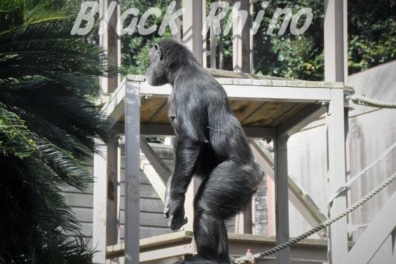 ニシチンパンジー クララ02 到津の森公園