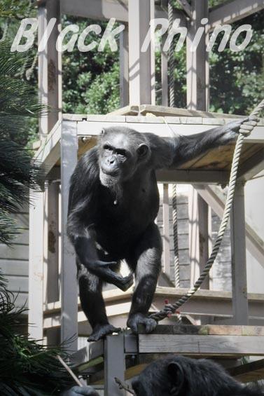 ニシチンパンジー クララ03 到津の森公園