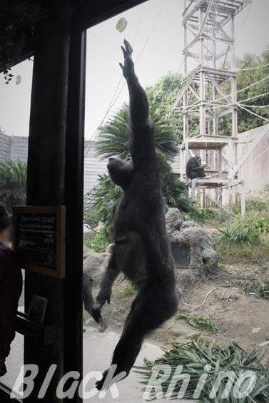 ニシチンパンジー クララ04 到津の森公園