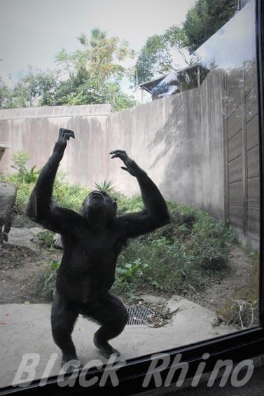 ニシチンパンジー クララ05 到津の森公園