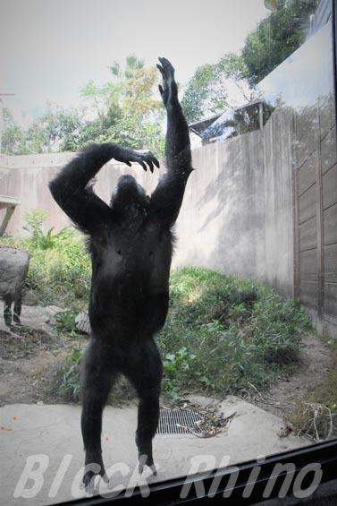 ニシチンパンジー クララ06 到津の森公園