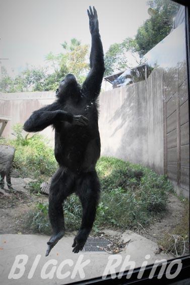 ニシチンパンジー クララ07 到津の森公園