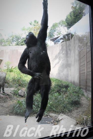 ニシチンパンジー クララ08 到津の森公園
