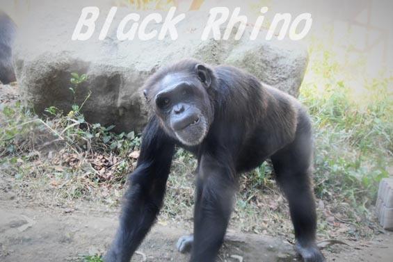 ニシチンパンジー クララ09 到津の森公園