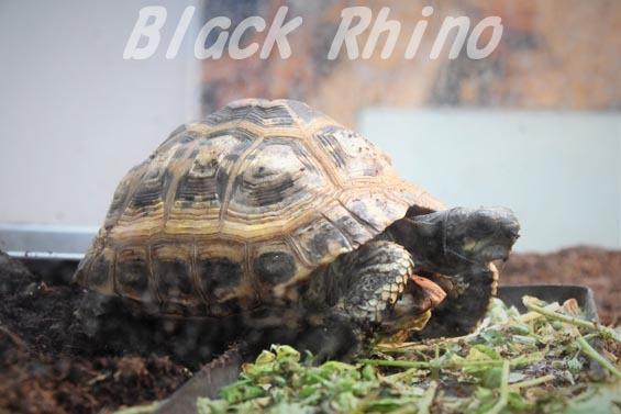 キバラクモノスガメ2 野毛山動物園
