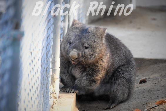 コモンウォンバット(ヒメウォンバット) フク1 五月山動物園