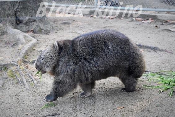 コモンウォンバット(ヒメウォンバット) フク3 五月山動物園