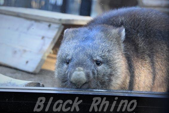 コモンウォンバット(ヒメウォンバット) フク4 五月山動物園