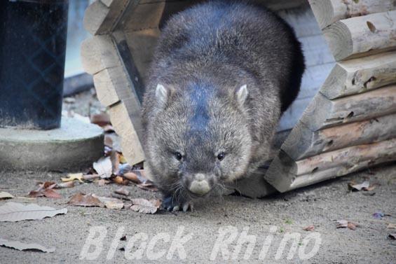 コモンウォンバット(ヒメウォンバット) フク5 五月山動物園