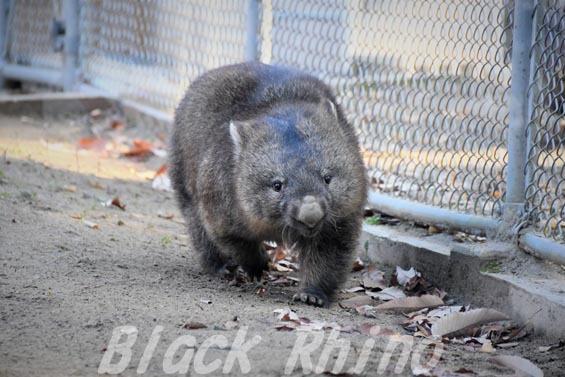 コモンウォンバット(ヒメウォンバット) フク7 五月山動物園