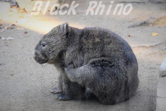 コモンウォンバット(ヒメウォンバット) フク8 五月山動物園