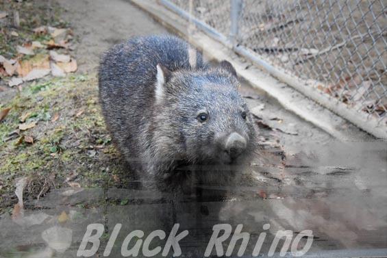 コモンウォンバット(ヒメウォンバット) マル2 五月山動物園