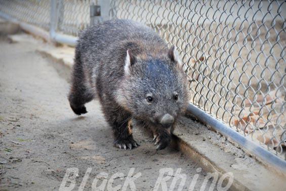 コモンウォンバット(ヒメウォンバット) マル3 五月山動物園