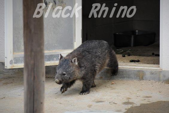 コモンウォンバット(ヒメウォンバット) マル4 五月山動物園