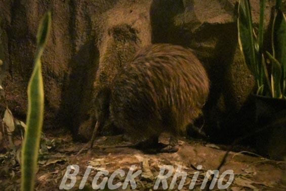 キーウィ1 天王寺動物園