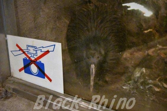 キーウィ2 天王寺動物園
